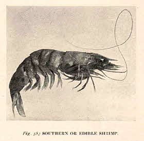 Southern or Edible Shrimp (1905)